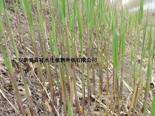 供应绿化芦苇种苗价格  芦苇种苗批发公司