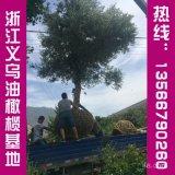 优质结果油橄榄苗木