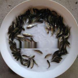 中科5號鯽魚苗豐產鯽魚苗雜交鯽魚苗湘雲鯽魚苗出售