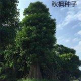 散裝新採楓樹種子 秋楓種子 量大優惠 優質綠化 花卉苗木種子批發