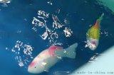 中科步思德仿生水下機器魚全球首款消費級娛樂教育型