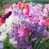 香豌豆种子爬藤花豌豆花卉种子四季公园阳台庭院室内易种易活