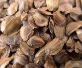自採自曬杉木種子價格杉木種子廠家