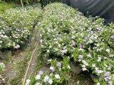 双色茉莉-成都双色茉莉基地-价格-图片-名川园艺场