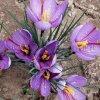 藏紅花種子,西紅花種子,泊夫蘭種子
