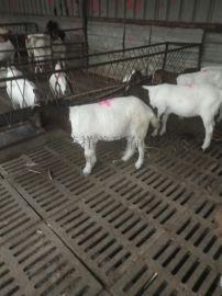 波尔山羊 纯种波尔山羊价格 大型波尔山羊养殖场