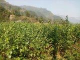 低價處理因  滯銷的豆腐樹苗/斑鳩樹苗