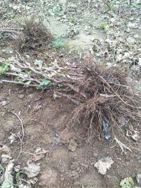 卢龙庆伟葡萄苗种植基地