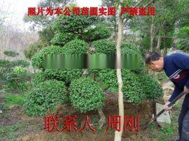 苏州雀梅桩 造型雀梅树苗圃 造型苗木采购基地