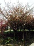 成都垂絲海棠種植基地郫都區名川園藝場供應垂絲海棠