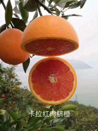 脐橙树苗/江西赣南脐橙苗/赣南脐橙苗基地