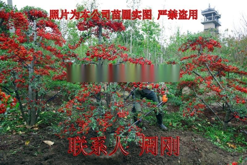 蘇州造型火棘 造型紅果基地 火棘盆景 庭院景觀樹