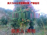 苏州鸿运果 造型无刺枸骨 别墅花园设计绿化工程