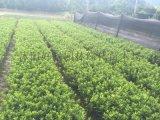 苗圃基地常年一站式供应20-50公分高的春鹃苗