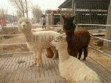仙农养殖场出售羊驼 羊驼幼崽