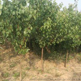 杏樹苗 杏樹苗品種 杏樹苗價格