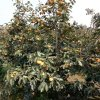 地径8公分柿子树价位 10公分柿子树多少钱一棵