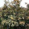 地徑8公分柿子樹價位 10公分柿子樹多少錢一棵