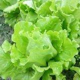 四季播蔬菜种子奶油生菜荷兰豆曲麻菜生吃超嫩营养蔬菜意大利生菜