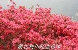 湖北利川杜鵑(映山紅)杜鵑樁頭