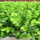 外牆圍欄裝飾景觀草坪,綠色地毯,假草坪,金錢草,人造草