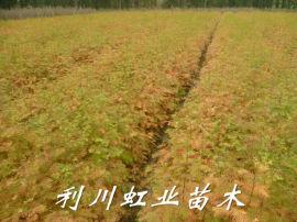水杉/水杉苗/30-50公分水杉树苗造林苗