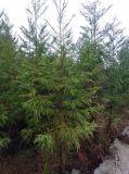 柳杉/米径5公分柳杉绿化苗