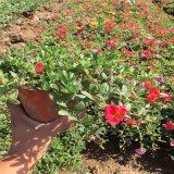 山东哪里有半枝莲草花 马齿笕苗太阳花品种多质优价廉