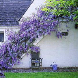 散装新采紫藤种子 优质日本紫藤树爬墙多花植物籽 紫藤花种子