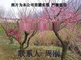 苏州梅花树种植基地、光福香雪海梅花、别墅绿化苗木、梅花树苗圃、大型梅园基地
