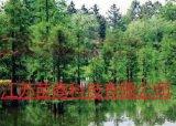 12公分池杉树报价  9公分池杉树急处理  山东苗木基地批发