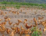家禽C-001光鸡