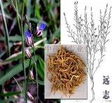 中药材种子:远志种子多少钱一斤?