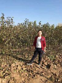 紅香酥梨樹苗產地  山西紅香酥梨樹苗農戶直銷