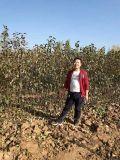 红香酥梨树苗产地  山西红香酥梨树苗农户直销