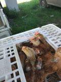 青年鸡运输笼脱温鸡周转笼大鸡塑料笼子