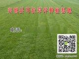 陽泉草坪|高羊茅草籽壽命|鋪草皮一個人一天能鋪多少平方米