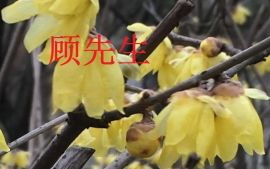 苏州腊梅花树、腊梅古桩、腊梅盆景、别墅绿化工程、苏州光福花木苗木市场