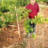 毛桃苗种植基地 农户直销1年毛桃苗