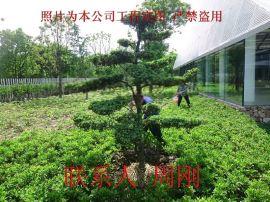造型罗汉松、罗汉松树苗种植基地、罗汉松造型价格、苏州造型苗木