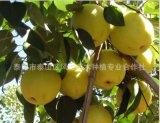 优质梨苗 品种梨苗 黄金梨苗 基地直供