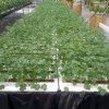溫室大棚 DFT深液流 栽培牀 水培種植層架