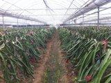 薄膜火龍果採摘園適合建多高多寬