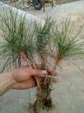 营养钵油松树苗