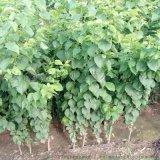 凯特杏树苗 苗圃自销 成活率高 购苗签约 保证品种