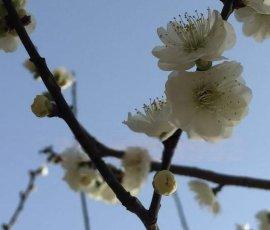 苏州别墅绿化工程、造型树景观树古桩基地、苏州梅花树、私家庭院景观绿化