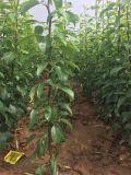 红考蜜斯梨树苗哪里有卖? 山西红考蜜斯梨树苗