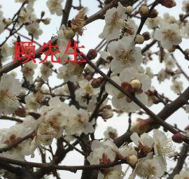 苏州梅花树桩、香雪梅花基地、苏州梅花苗圃、苏州市绿化苗木、光福香雪梅花园