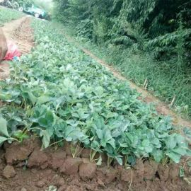 白草莓苗出售 农户自销 价格优惠