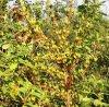 药用连翘树苗,卢氏县脱贫主打品种,中药材种子种苗